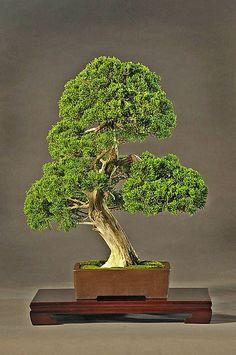 JPB:Bonsai Collection4 | Juniperus chinensis itoigawa by americanbonsaisociety, via Flickr