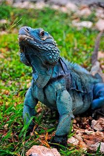 The blue iguana or Grand Cayman iguana is an endangered species of lizard of the genus Cyclura endemic to the island of Grand Cayman.