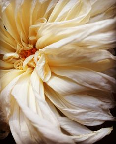 wilted dahlia