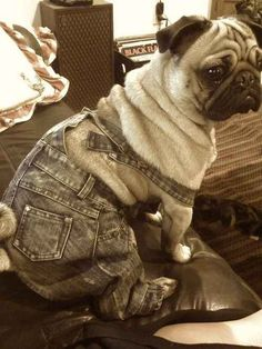 1789: Pug invents overalls, keeps them a secret for roughly 100 years. | 35 Most Adorable Moments In Pug History