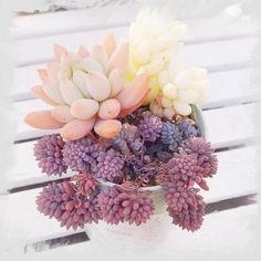 ヒスパニカム プルブレアの画像 by mamiiさん|玉綴りとスノージェイドとセデベリア属とセダム属と多肉植物 (2015月8月4日)|みどりでつながるGreenSnap