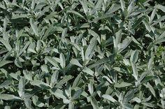 silver king foliage