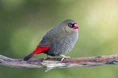 Firetail Finch (Stagonopleura bella)