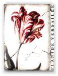 Versailles Tulip | Sid Dickens