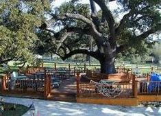 Oak tree surrounded by deck.