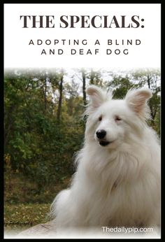 Adopting, training, and loving a double merle, deaf and blind dog. #blinddeafdogs #doublemerles