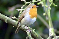 Robin Tattoo, Wrens, Robins, Birds, Cute, Animals, Animales, Animaux, Robin