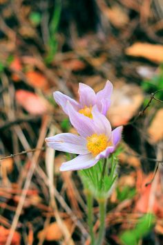 flowers archives sodak momentsjohn mitchell pasque flowers sd state flower