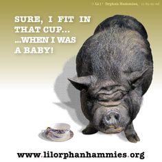 When you see pictures of tiny piglets next to teacups, you are looking at newborns and animals that are just days old.