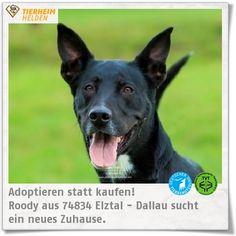 Roody kam durch eine Beschlagnahmung ins Tierheim Dallau.  http://www.tierheimhelden.de/hund/tierheim-elztal_dallau/mischling/roody/7532-0/   Er ist ein richtige Powerpaket, welches körperlich und geistig ausgelastet werden will. Hundesport und Radfahren wären für ihn ideal. Mit Hündinnen versteht sich Roody meistens gut, Rüden mag er eher nicht. Kinder im neuen Zuhause sollten vor allem standfest sein.