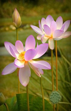 Water Lilies Photograph - Maybe Tomorrow by Diana Angstadt