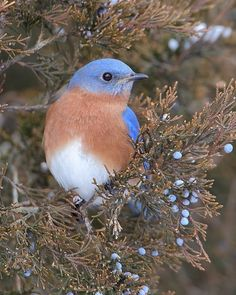 Bluebirds are gorging on cedar berries (cones) in a big eastern red cedar on our farm. - Photo by Danny Brown
