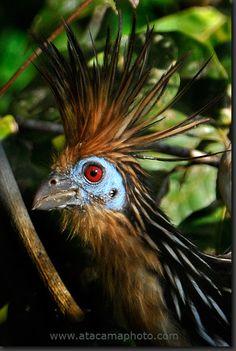 Best Pics of Hoatzin (Opisthocomus hoazin) birds - scary birds