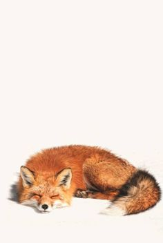 Red Fox Sleeping in the Snow - Photographer unknown