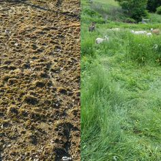 Remember those BEFORE & AFTER pasture rehabilitation photos I promised (hoped for) this spring? Here they are. Same ground. No seeding. No inputs. Just changes in management. Left spring 2016. Right fall 2016. #regenerativeagriculture #sheep #Vermont #SoVT #beforeandafter