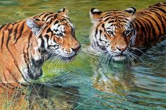 """Too Alert - Acrylic on Canvas by Alan M Hunt Sixe 21 x 23"""" Price £POA Original Wildlife Paintings For Sale - Alan M Hunt Wildlife Paintings, Wildlife Art, Animal Paintings, Animal Drawings, Tiger In Water, Tiger Painting, Painting Prints, Sand Cat, Gato Grande"""