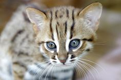 Baby rusty-spotted cat