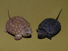 I love baby snappers. (The Absolute Best Photography Posts) – France O. I love baby snappers. (The Absolute Best Photography Posts) I love baby snappers. Common Snapping Turtle, Alligator Snapping Turtle, Baby Alligator, Turtle Care, Pet Turtle, Cute Baby Turtles, Cute Baby Animals, Chelydra Serpentina, Freshwater Turtles