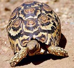 This is a leopard tortoise, so named for its leopard-like spots.