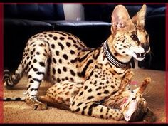Cuteness level: Infinite - Top Cats so Cute Cute Baby Cats, Cute Baby Animals, Animals And Pets, Cat Has Fleas, Domestic Cat Breeds, Serval Cats, Exotic Cats, Funny Animal Videos, Savannah Chat