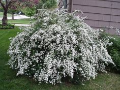 plant a row of white spirea along entrance to cabin