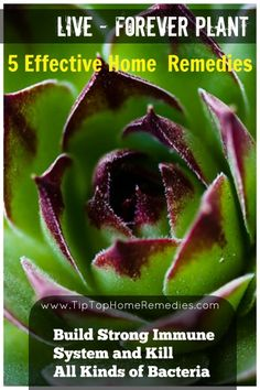 Build Strong Immune System and Kill All Kinds of Bacteria Using Live-Forever Plant - Tiptop Home Remedies