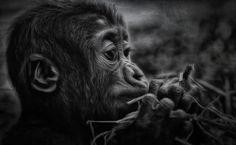 """the control,"" baby gorilla, by Johnny Brambach"