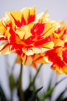 tulips and stems - Tulips and stems in a garden