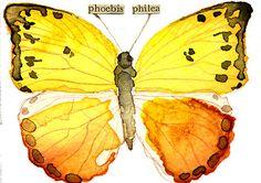 """Phoebis philea (Orange Barred Sulphur)"" by Carol Kroll | Redbubble"