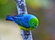 Gaturamo-bandeira (Blue-naped Chlorophonia) Chlorophonia cyanea | Flickr - Photo…
