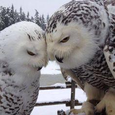 snowy owl - Google Search