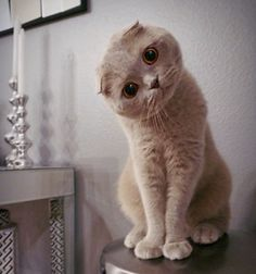 "* * SCOTTISH FOLD: "" Ands wut woulds humans be without love?"" [""RARE"", said Death.] ~Terry Pratchett"