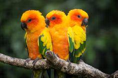 Sun Conure birds. - Colorful birds