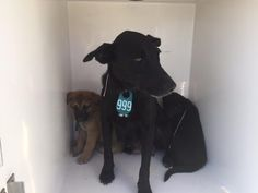 11/28/16- SUPER URGENT - HOUSTON FACILITY IS OVER CAPACITY -BELLA - ID#A472785 My name is BELLA I am a female, black and white Carolina Dog mix. The shelter staff think I am about 2 years and 7 months old. I have been at the shelter since Nov 21, 2016. This information was refreshed 58 minutes ago and may not represent all of the animals at the Harris County Public Health and Environmental Services.