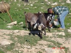Syria  Goats eating pita bread