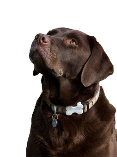 """Labrador retrievers, or """"Labs"""" as they've become fondly known, are one of the most popular dog breeds of our time. Dog Commands Training, Agility Training For Dogs, Basic Dog Training, Dog Agility, Training Tips, Dog Training Techniques, Most Popular Dog Breeds, Large Dog Breeds, Dog Barking"""