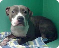I am a female blue/brown brindle and white American Pit Bull Terrier mix. I am about 1 1/2 years old. I have been at the shelter since February 6, 2013. **NOTE: THE SHELTER HAS MOVED MANY OF THE LITTLE DOGS TO A ROOM OF THEIR OWN. PLEASE ASK TO SEE THEM IF YOU DO NOT SEE WHO YOU ARE LOOKING FOR IN THE GENERAL KENNELS**