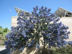 Ceanothus/California Lilac - with a scent like nectar, and a vibrant deep periwinkle color, this flowering bush is beautiful for it's scent and garden appeal