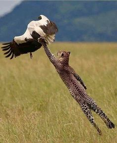 An African leopard makes a fantastic leap to snare a white stork. An African leopard makes a fantastic leap to Wildlife Nature, Nature Animals, Animals And Pets, Funny Animals, Cute Animals, Wild Animals, Artic Animals, Woodland Animals, Beautiful Cats