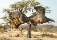 Nests of the Sociable Weaver Bird (Philetairus socius) at Witsand Nature Reserve in South Africa. Sociable Weavers build large compound community nests, a rarity among birds. Bonsai, Weird Trees, Unique Trees, Old Trees, Nature Tree, Tree Forest, Nature Reserve, Tree Art, Tree Of Life