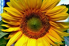 Sun Flower Kiwi, My Photos, Places To Visit, Herbs, Fruit, Health, Flowers, Happiness, Sun