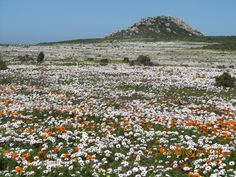 Flower Season 2013 Annual Flowers, West Coast, Wild Flowers, South Africa, Fields, National Parks, August 2014, Places, Cape