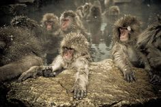 These Snow Monkeys in Japan Have Their Own Hot Spring Pools. the real japan, real japan, animal, animals, japan, japanese animal, deer, duck, bird, cat, neko, cute, dog, inu, crab, fish, zoo, park, wildlife, tour, explore, travel, adventure, pet, puppy, kitten, rabbit, butterfly http://www.therealjapan.com/subscribe