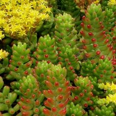 Sedum Rubrotinctum (Jelly Bean): Grows easily from pieces when they drop onto the soil. Similar growth habits to the burrito but turns a lovely red on the tips with exposure to heat or cold. Not frost hardy. $4.50