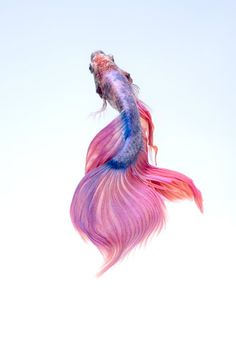 Learn about different tips to care about your Betta Fish. The Betta fish is definitely a colorful pet which can make your aquarium lively. Carpe Koi, Beta Fish, Fish Fish, Siamese Fighting Fish, Deep Sea Fishing, Beautiful Fish, Salt And Water, Fish Tank, Pisces