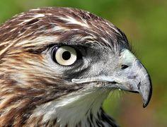redtail head shot.jpg (Spring birds wild+animals ). Photo by kmc1960