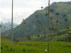 Salento's wax palm trees. South America Backpacker, Colombia! (Sorcha's) 129