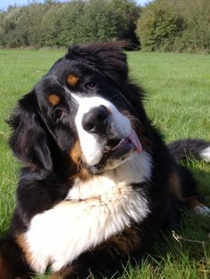 i want one of these dogs so bad. berner love.