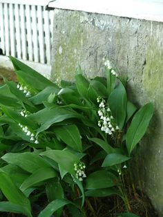 Lily of the Valley Lily Of The Valley, Gardens, Flowers, Plants, Outdoor Gardens, Plant, Royal Icing Flowers, Flower, Florals
