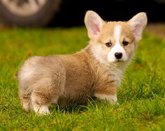 """This tiny corgi puppy which, HOW DID HE GET SO TINY?? 